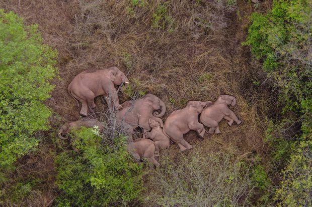 Viral Video : चीन में 15 जंगली हाथियों ने मचाई तबाही, करोड़ों का हुआ नुकसान, थक कर सोने की तस्वीर हुई वायरल